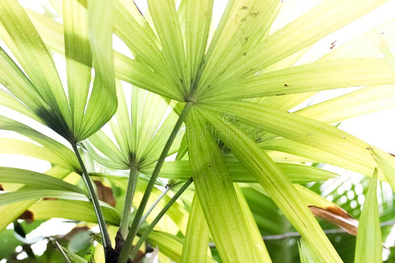 Green fan palm leaves close up stock photography
