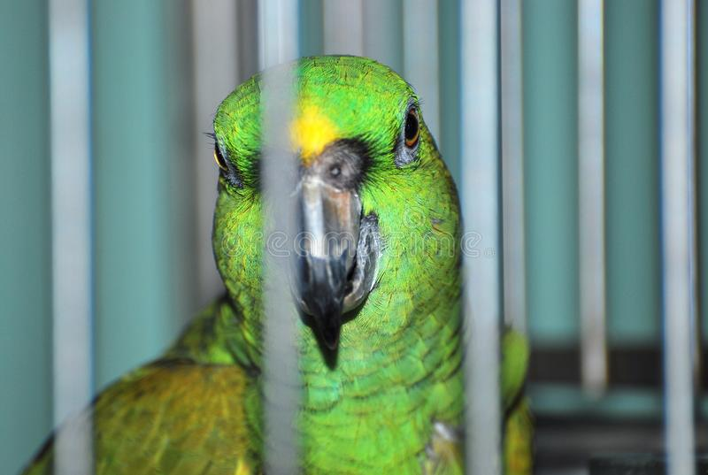 A green feathered bird in a cage stock photos