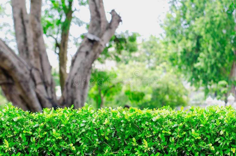 Green Fence Bush with blur Park background. Park and Outdoor stock photo