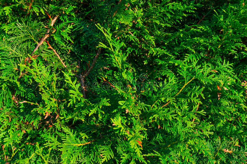 Green fence bush texture. Green fence bush for texture royalty free stock photo