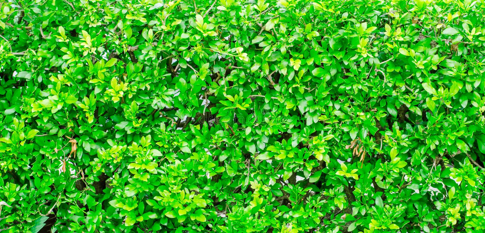 Green Fence Bush texture background. Park and Outdoor royalty free stock image