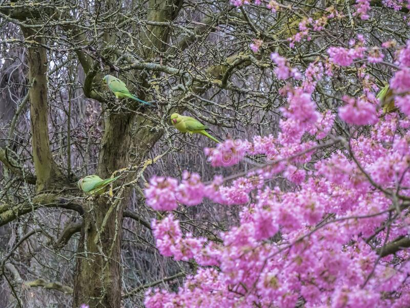 Green Feral parakeets near ping purple blossoms in Great Britain, Hyde Park,  London, UK. stock photography
