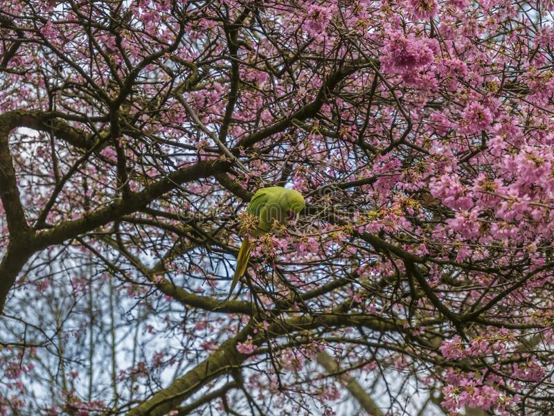 Green Feral parakeets near ping purple blossoms in Great Britain, Hyde Park,  London, UK. stock image