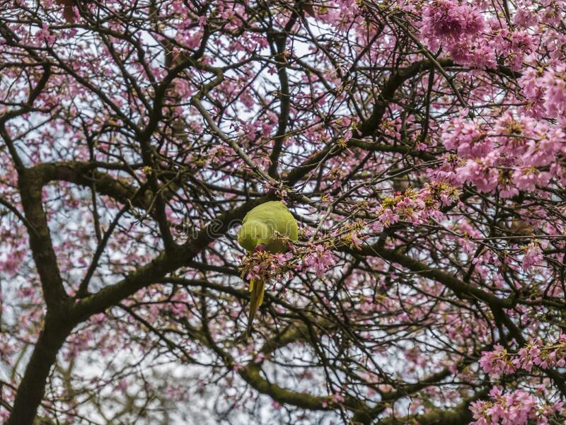 Green Feral parakeets near ping purple blossoms in Great Britain, Hyde Park,  London, UK. royalty free stock photo
