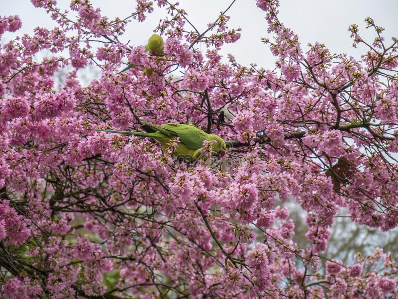 Green Feral parakeets near ping purple blossoms in Great Britain, Hyde Park,  London, UK. stock images