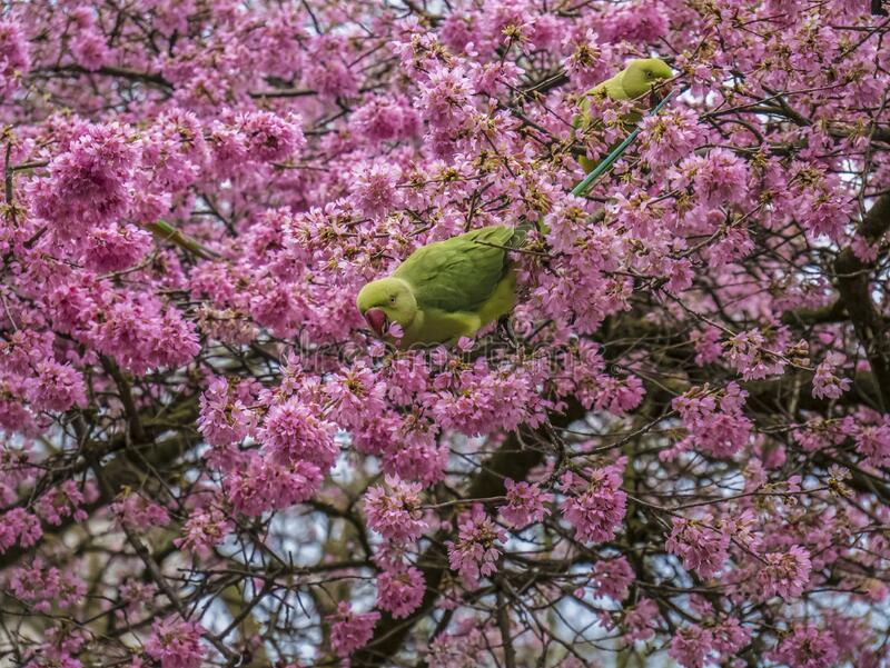 Green Feral parakeets near ping purple blossoms in Great Britain, Hyde Park,  London, UK. royalty free stock photos