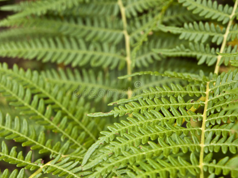 Green Fern Stock Image