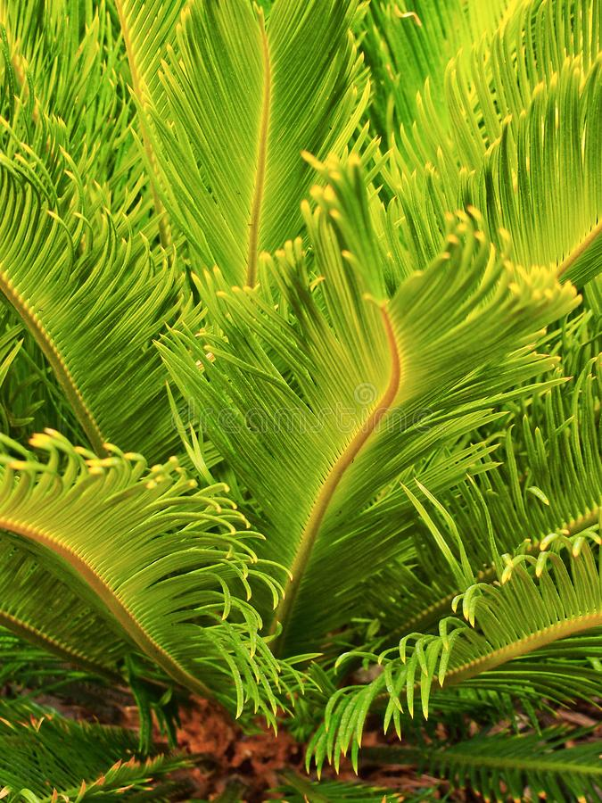 Natural Pattern, a Wavy Fine Leaf Fern stock photography