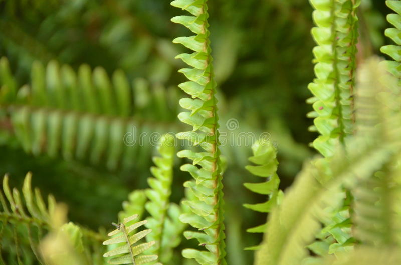 Green fern. A flowerless plant that has feathery or leafy fronds and reproduces by spores released from the undersides of the fronds. Ferns have a vascular stock photography
