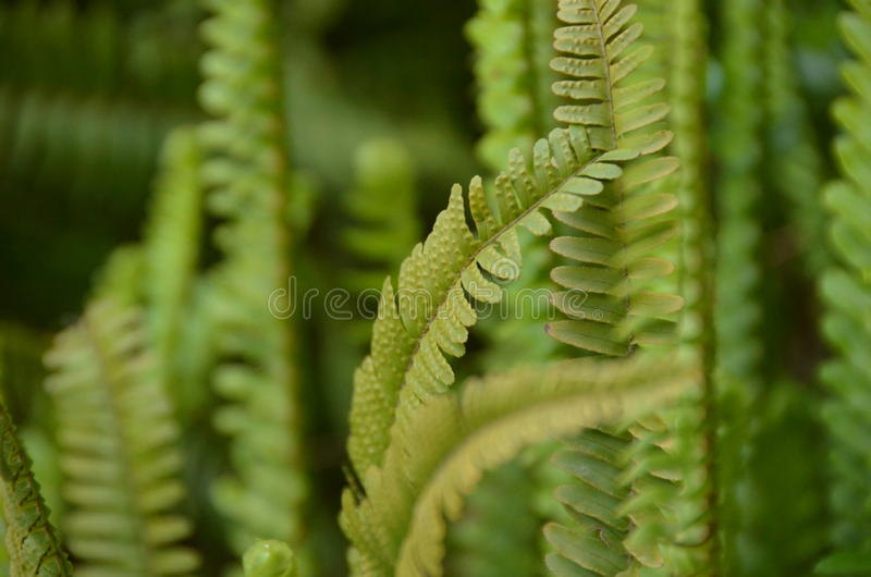 Green fern. A flowerless plant that has feathery or leafy fronds and reproduces by spores released from the undersides of the fronds. Ferns have a vascular royalty free stock photos
