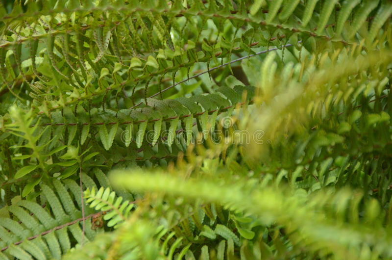 Green fern. A flowerless plant that has feathery or leafy fronds and reproduces by spores released from the undersides of the fronds. Ferns have a vascular stock images