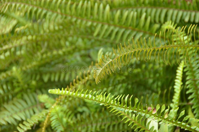 Green fern. A flowerless plant that has feathery or leafy fronds and reproduces by spores released from the undersides of the fronds. Ferns have a vascular royalty free stock image