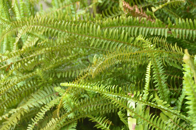 Green fern. A flowerless plant that has feathery or leafy fronds and reproduces by spores released from the undersides of the fronds. Ferns have a vascular royalty free stock images