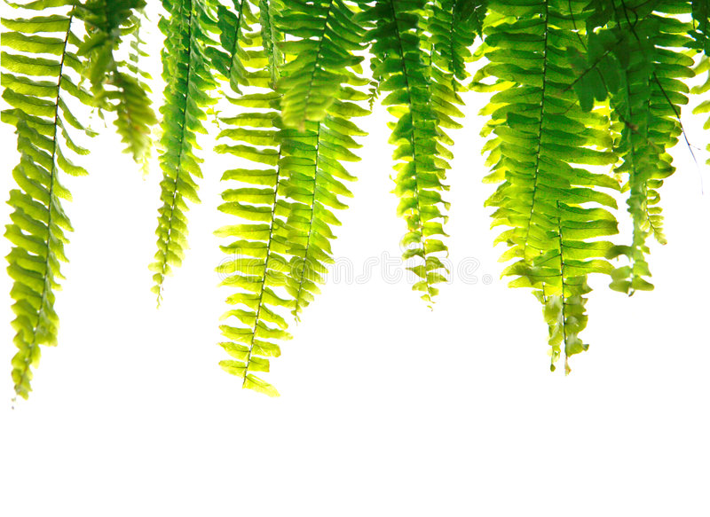 Green fern fronds. Healthy green fern fronds isolated stock images