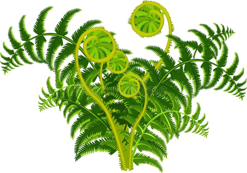 Green fern. With the furled fronds stock illustration