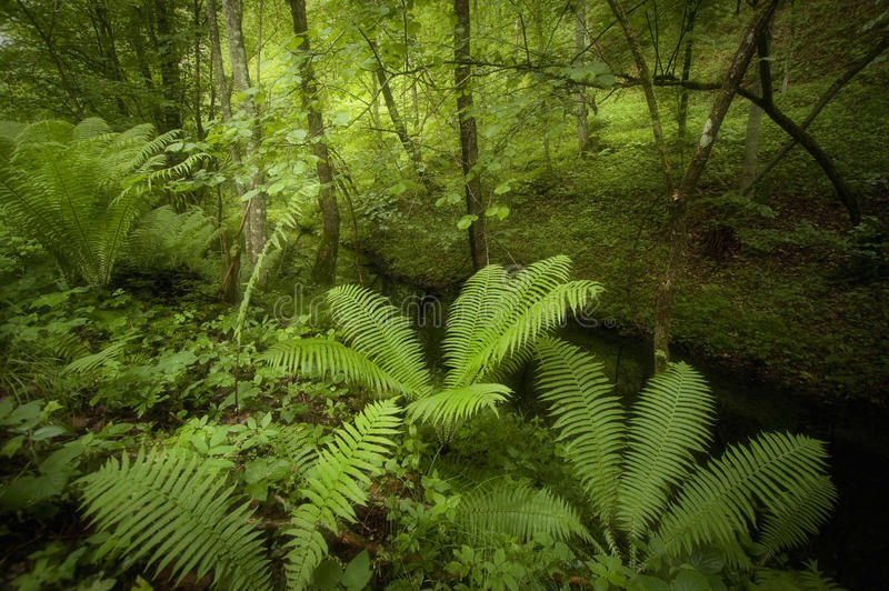Green fern in a green rainforest stock images