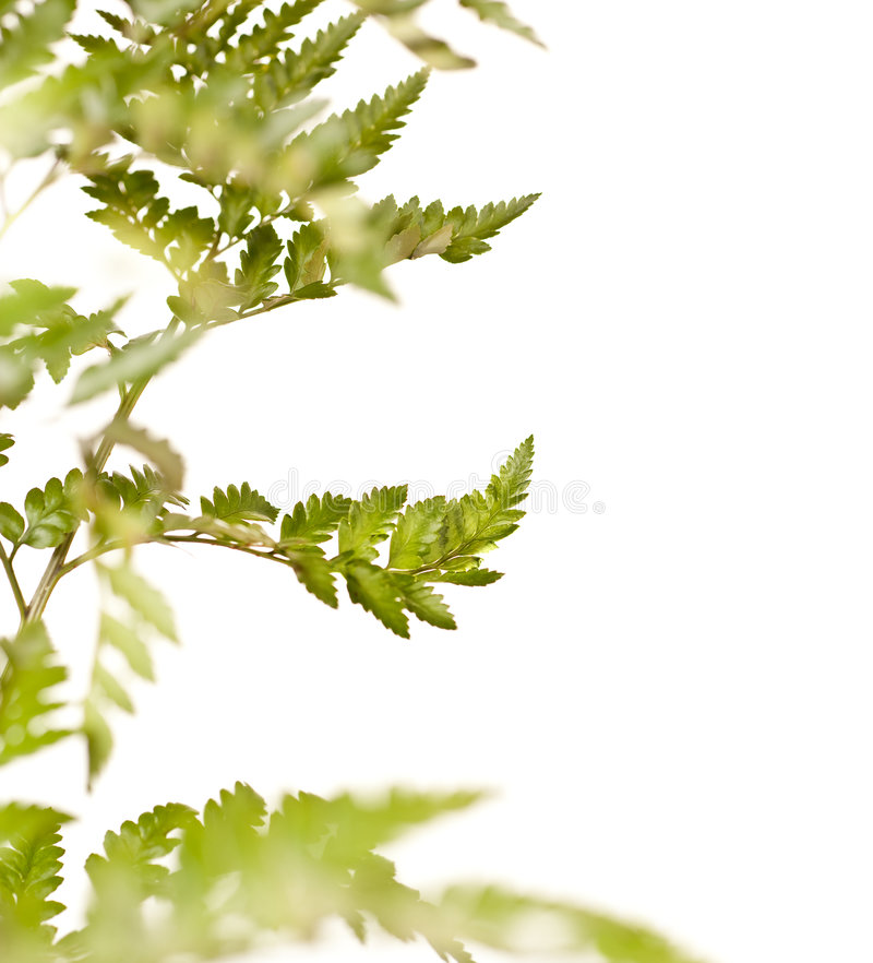 Green Fern Leaf Isolated On White Background Stock Photos