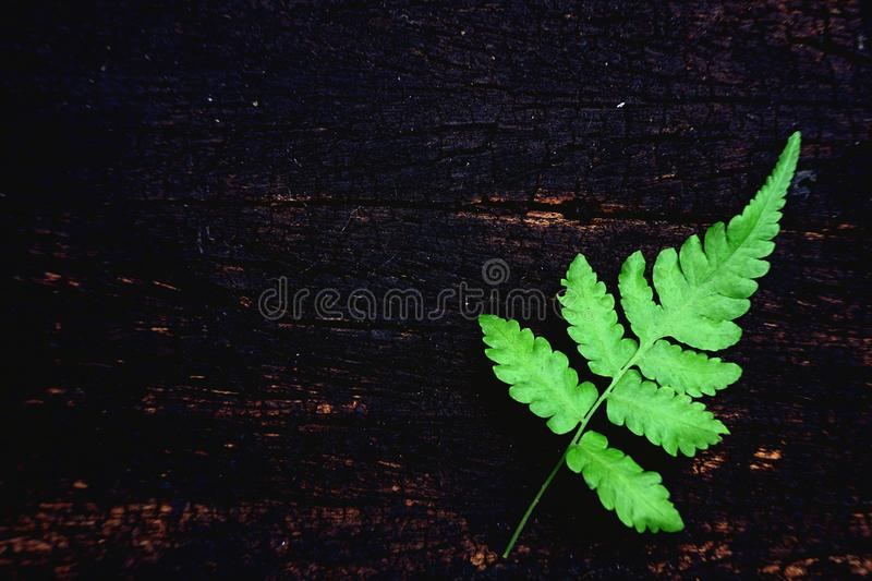 Green fern leaf on old wood board background, minimal nature backdrop concept, copy space. Fresh green fern leaf on old wood board background, minimal nature royalty free stock images