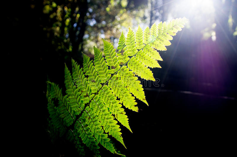 Green Fern leaf and sunlight in the forest royalty free stock photography