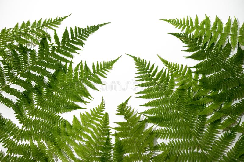 Green fern leaves background stock photography