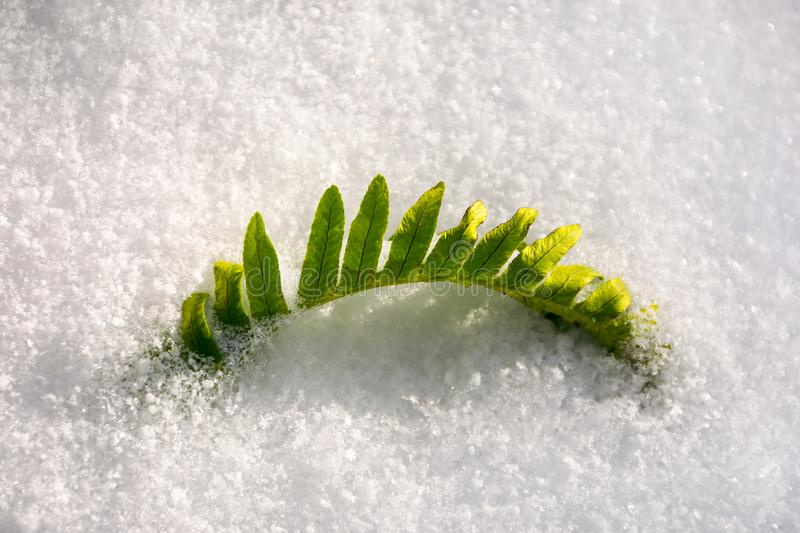 green fern leaves in snow. royalty free stock photo