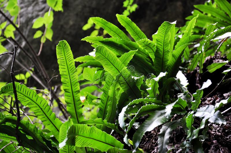 Green fern petals. The plant fern blossomed.  royalty free stock photos