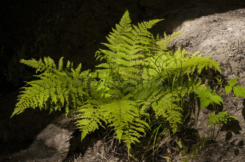 Green fern in a warm sunlight. Spring is coming. Green leaves on a dark background. Plant of the northern forrest royalty free stock image