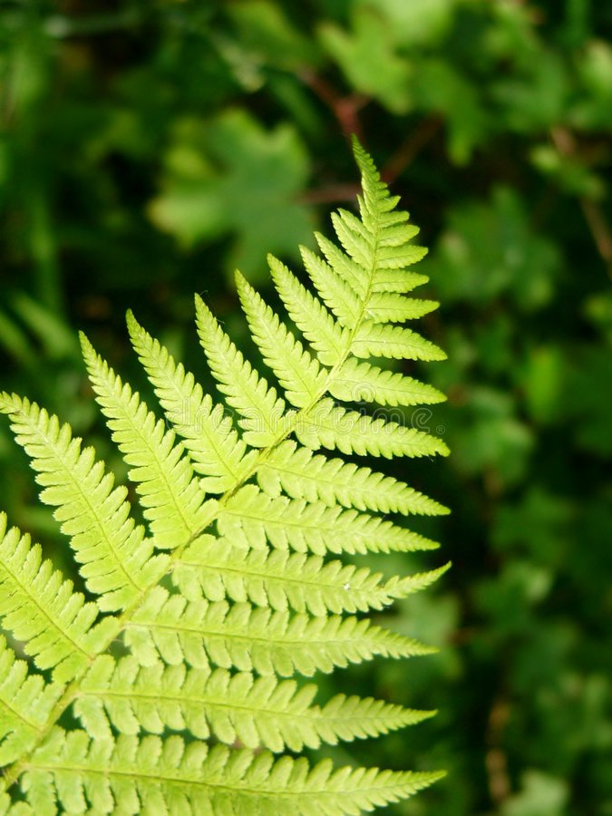 Green ferns. In the forest royalty free stock photo