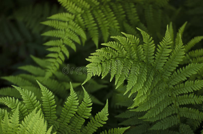 Green ferns on a dark background. Green ferns on a dark background in a sunny day royalty free stock photos