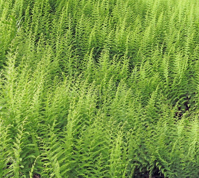Green ferns. Field of green summer ferns stock image