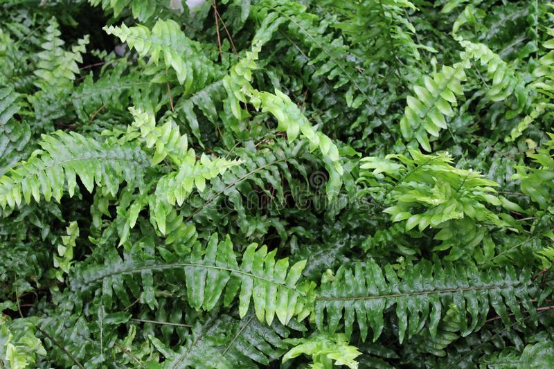 Beautiful green ferns. Green ferns in a forest royalty free stock images
