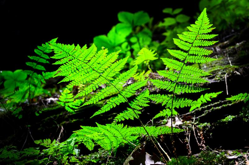 Green ferns in the forest. Plants and Flowers. green ferns in the forest stock photography