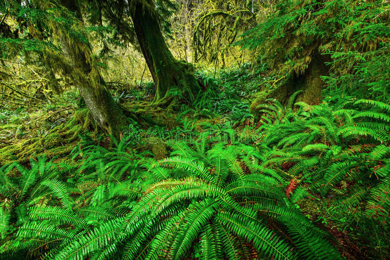 Green Ferns. Fresh green ferns in Hoh rain forest in an overcast day, Olympic National Park, WA stock image