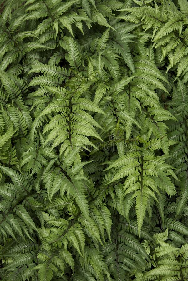 Green Ferns in a Garden Bed Vertical. Summer garden of green ferns, shows the details of the fronds.  Shown in a vertical shot stock image