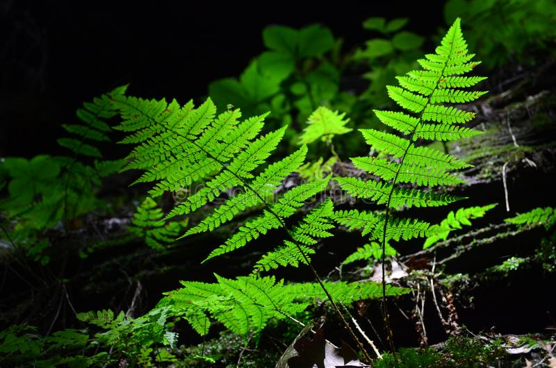 Green ferns  leaves in the forest. Green ferns in the forest. green fern leaves stock image