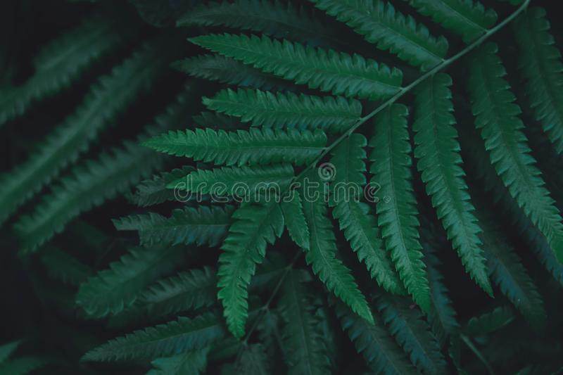 Green ferns leaves pattern background. Ferns leaves nature dark green tone background.  royalty free stock images