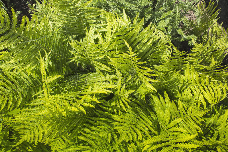 Green ferns. A lot of green ferns stock photography