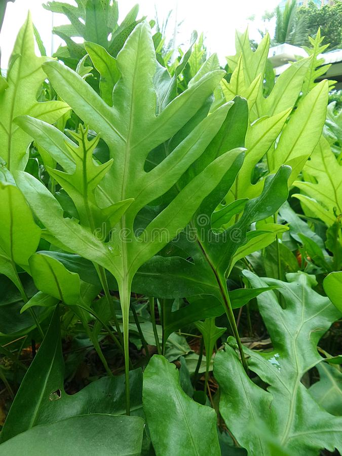 Green ferns. On the path through tropical garden royalty free stock photo