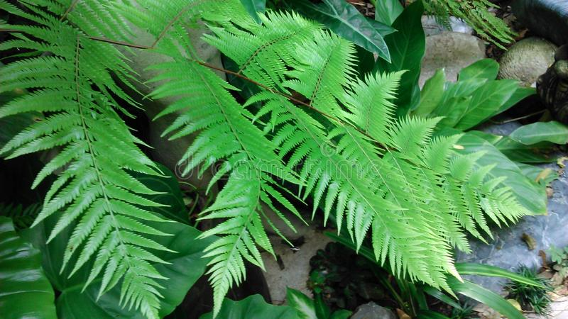 Green ferns. Shiny Green ferns in the tropical garden royalty free stock images
