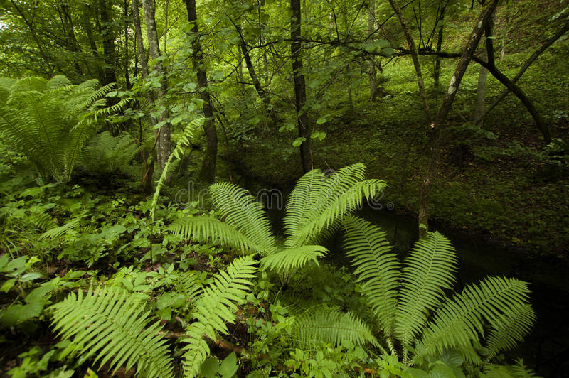Green ferns in tropical forest royalty free stock photo