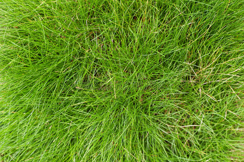 Green fescue leaves (Festuca gautieri) background. Low-maintenance ground cover decorative grass. Top view stock photo