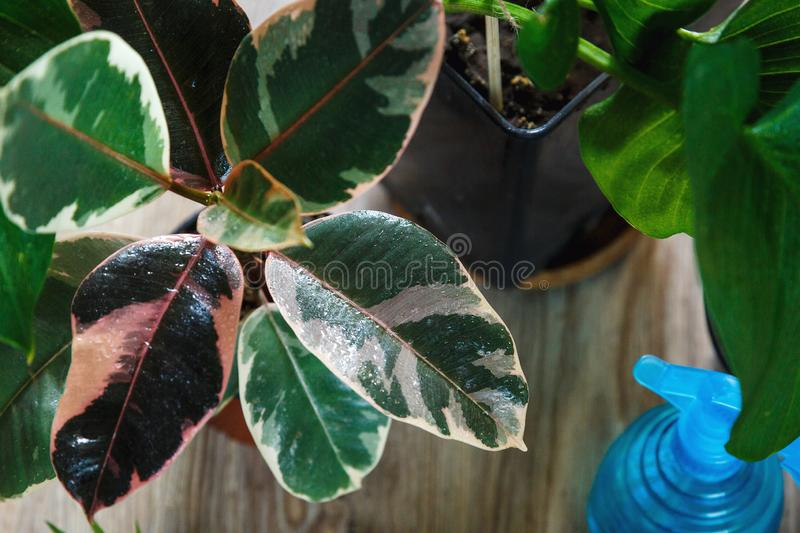Green ficus tree with big bright leaves in the pot after repotting next to other plants on the table. Green home flowers. Indoor decoration. Gardening concept royalty free stock photos