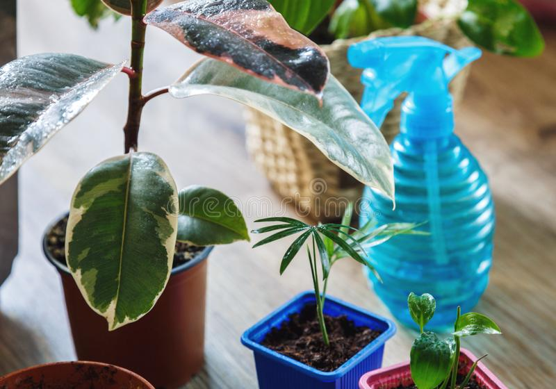 Green ficus tree with big bright leaves in the pot after repotting next to other plants on the table. Green home flowers. Indoor decoration. Gardening concept stock image