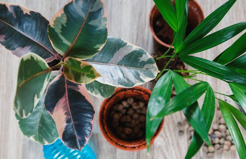 Green ficus tree with big bright leaves in the pot after repotting next to other plants on the table. Green home flowers. Indoor decoration. Gardening concept stock photography