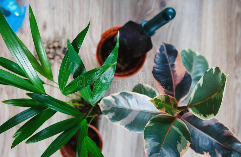 Green ficus tree with big bright leaves in the pot after repotting next to other plants on the table. Green home flowers. Indoor decoration. Gardening concept royalty free stock image