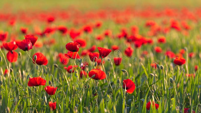 Green field with blooming red poppies. Scene royalty free stock photos