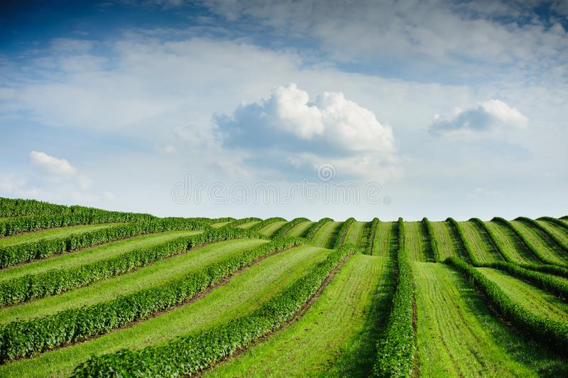 Green field and blue sky. Awesome landscape. Green field and blue sky with light clouds, plant, outdoor, summer, lawn, land, agriculture, season, landscape royalty free stock photography
