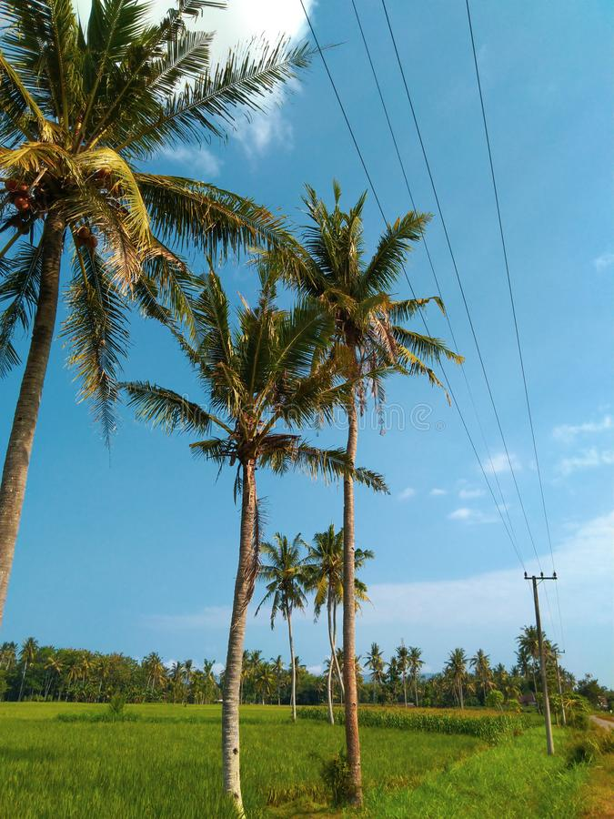 Green field with coconut tree. Landscape stock photo