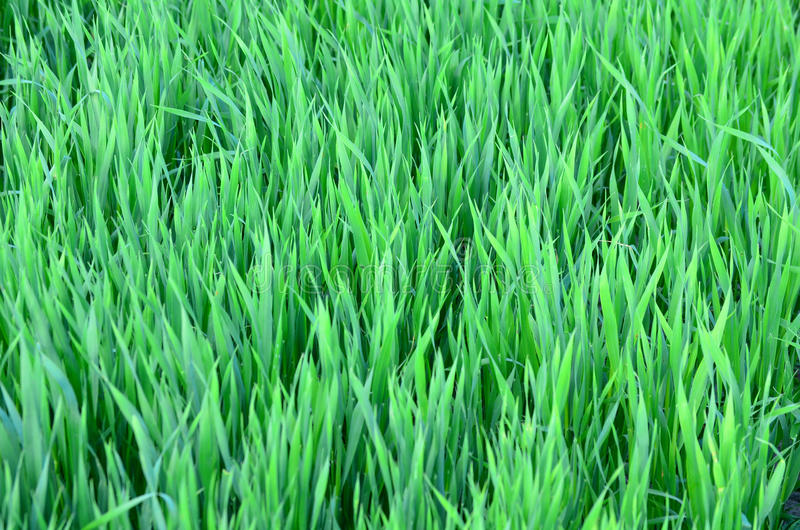 Green field of grain. In summer time stock image