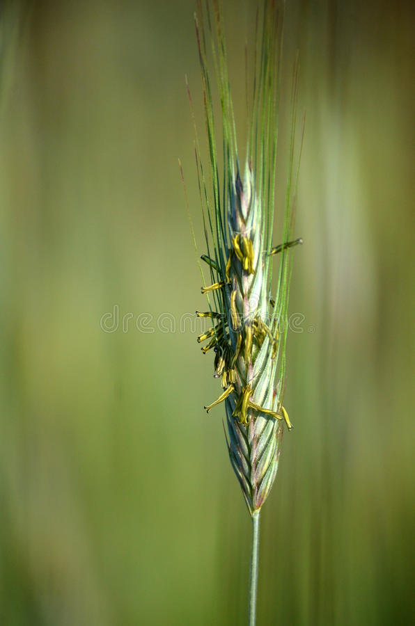Green field of grain. In summer time stock photos